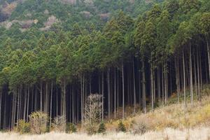 floresta de cedro foto