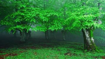 entrada nevoenta da floresta