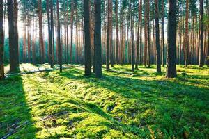 nascer do sol na floresta de pinheiros