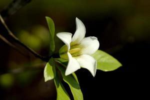 a flor branca da gardênia hydrophila.