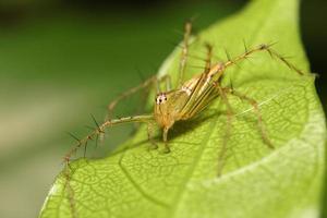 aranha saltadora na floresta tropical foto