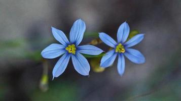 close-up de flores azuis
