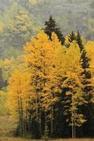 árvores de álamo tremedor com cor de outono, floresta nacional incomum, colora
