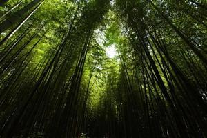 luz na floresta escura de bambu