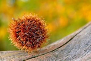 castanha (castenea sativa) em árvore na floresta foto