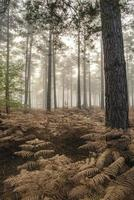 floresta de pinheiros outono outono paisagem manhã nevoenta