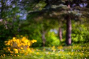 arbusto flores amarelas e floresta de pinheiros. embaçado