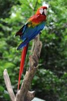 papagaio arara macao na floresta tropical foto