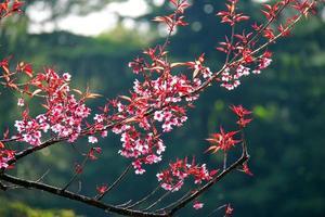 flor de cerejeira rosa e fundo da floresta foto