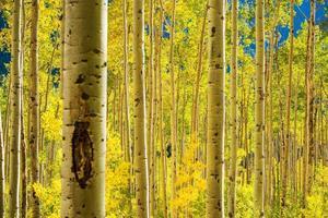 floresta de árvores de álamo tremedor
