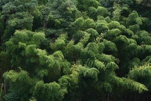 floresta de bambu de outono