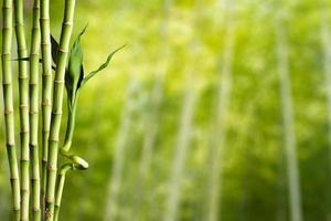 bambu com fundo de floresta