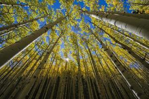 árvores de álamo tremedor no outono