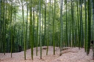 muito bambu na floresta foto