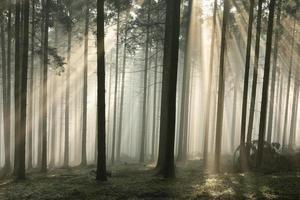 floresta de coníferas enevoada ao amanhecer