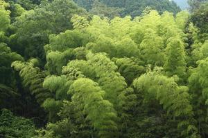 floresta de bambu do início do verão