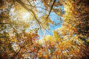 copas das árvores na floresta de outono