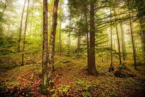 névoa matinal na floresta