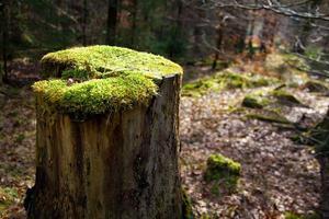 tronco de árvore com musgo em uma floresta.
