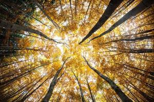 copas das árvores da floresta de outono