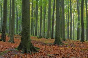 floresta de faias na névoa