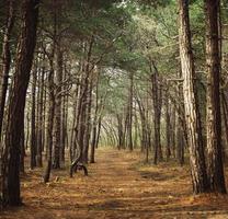 caminho em uma floresta de pinheiros