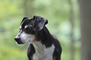 cachorro de caminhada foto