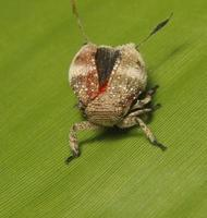 planthopper invertido