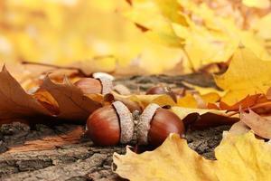 bolotas marrons nas folhas de outono, close-up