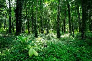 floresta na ilha koh chang da tailândia foto