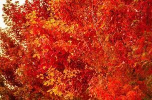 close up das árvores do outono vermelho
