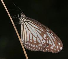 borboleta tigre azul vítreo