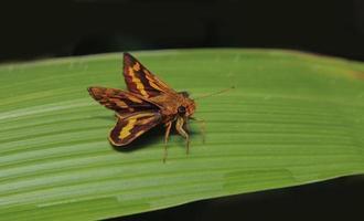 borboleta dardo amarela e preta