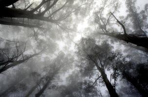 copa de árvore de eucalipto na neblina