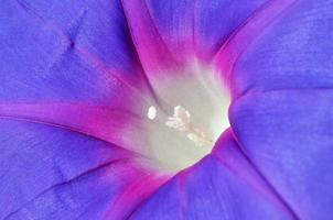 flor de ipomea selvagem