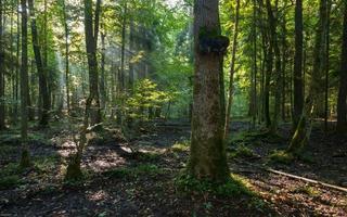 povoamento decíduo natural da floresta bialowieza pela manhã