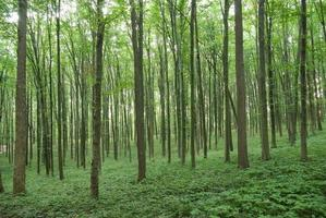 árvores delgadas em verde floresta jovem