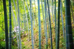 a floresta de bambu de kyoto, japão