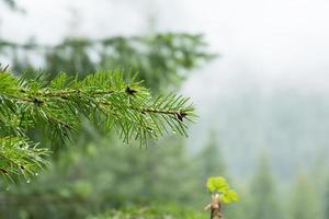 galho de pinheiro foto