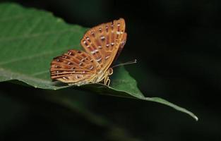 borboleta punchinello comum