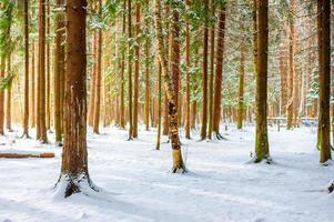 primeira neve caída na floresta de abetos
