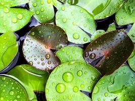 folha de lótus com gota de água foto