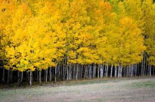 árvores de álamo tremedor