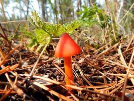 cogumelo vermelho foto