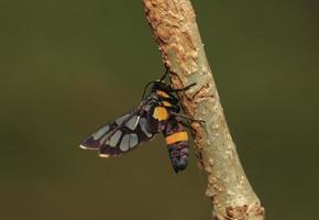 mariposa da broca do capim tigre
