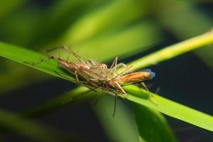 pequena aranha na folha com presa capturada foto