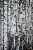 floresta de bétulas na primavera, grande fundo vertical