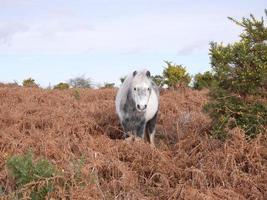 cavalo selvagem cinza em pé na nova floresta de inverno charneca