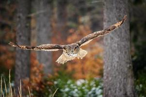 voadora coruja-real na floresta colorida de inverno foto