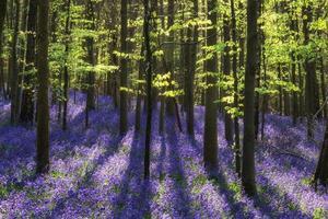 bela manhã na floresta de bluebell de primavera com raios de sol por todo o lado foto